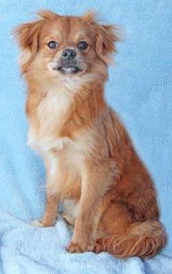 ENCINITAS, CA - NEWPORT is a Pomeranian for adoption who needs a loving home.