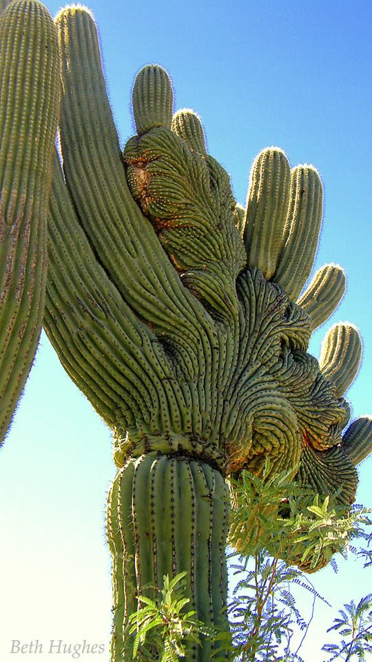 Crested Saguaro - Tucson - photo by Beth Hughes