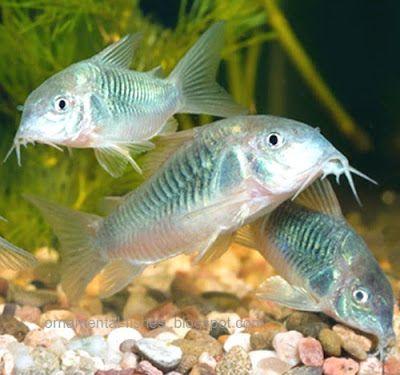 13 best images about community aquarium on pinterest for Ornamental pond fish types