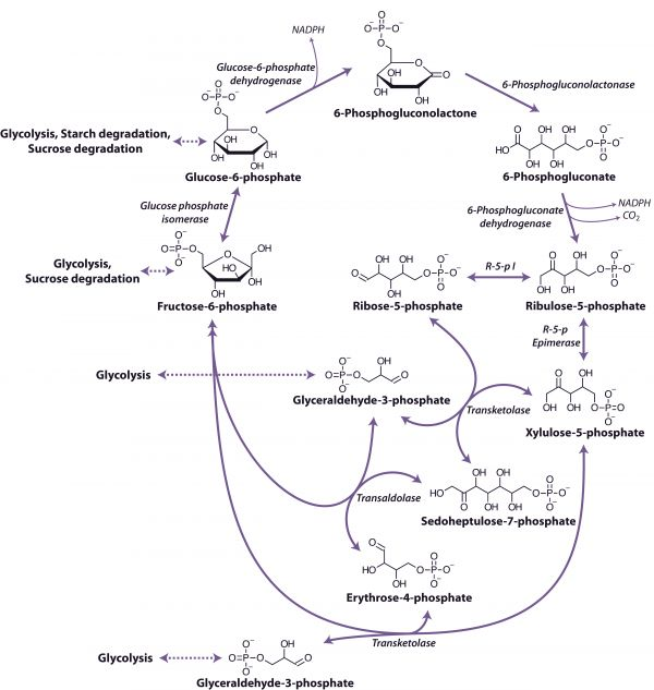 TJ. In biochemistry, the pentose phosphate pathway (also called the phosphogluconate pathway and the hexose monophosphate shunt) is a metabolic pathway parallel to glycolysis that generates NADPH and pentoses (5-carbon sugars) as well as Ribose 5-phosphate, a precursor for the synthesis of nucleotides. While it does involve oxidation of glucose, its primary role is anabolic rather than catabolic.  There are two distinct phases in the pathway. The first is the oxidative phase, in which NADPH…