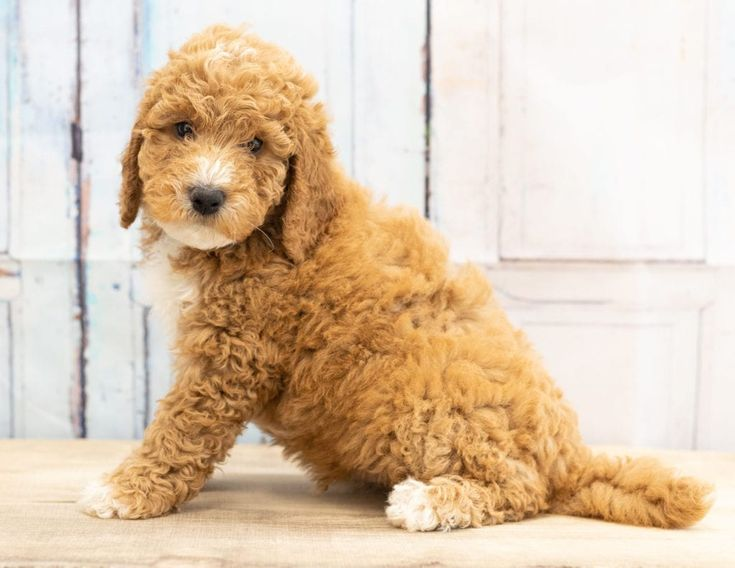 Goldendoodle Puppies Under $1000 In Florida References