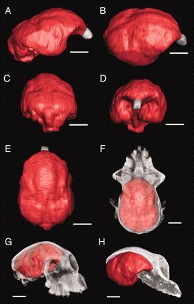 A remarkable female cranium of the early Oligocene anthropoid Aegyptopithecus zeuxis (Catarrhini, Propliopithecidae) Simons, Elwyn L. 2007. PNAS vol. 104, no. 21, 8731-8736.