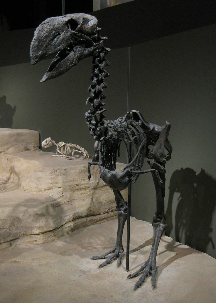 Gastornis, a large flightless bird from the Eocene of Wyoming. Gastornis were very large birds, & have traditionally been considered to be predators of small mammals. However, several lines of evidence, including the lack of hooked claws in known Gastornis footprints & studies of their beak structure, have caused scientists to re-interpret these birds as herbivores which probably fed on tough plant material & seeds