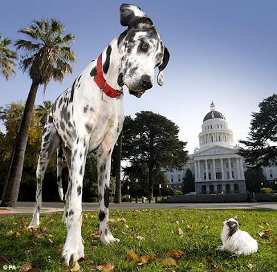 Biggest Dog in the World | biggest dog in the world biggest dog in the world biggest dog in the ...