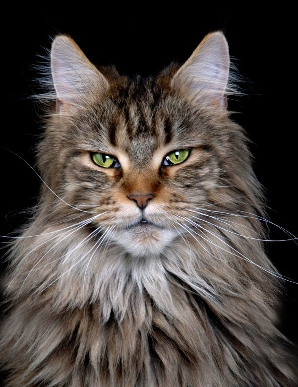 Maine Coon Cat Kittens For Sale In Vermont