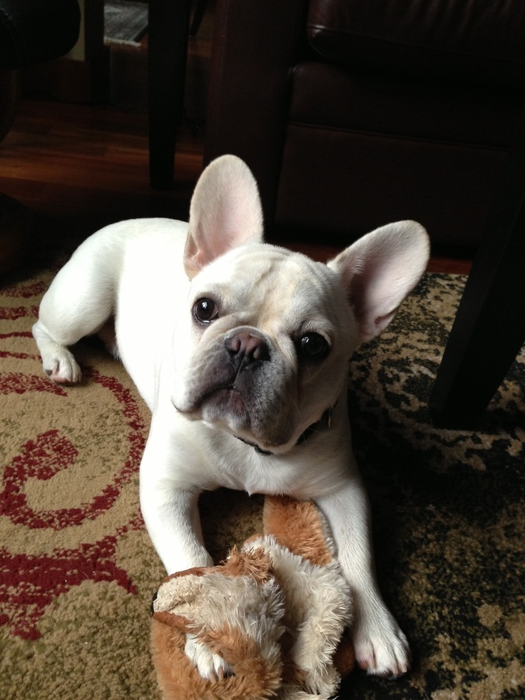 french bulldog rochester ny 17 best ideas about white french bulldog puppies on 9076