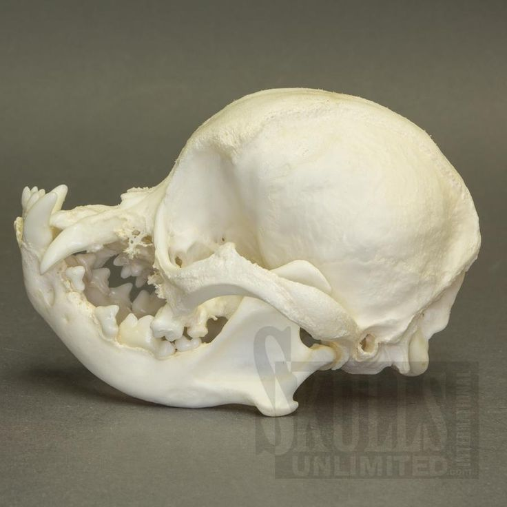 pug skulls pug skull google search bones pinterest pug skulls and search 5040