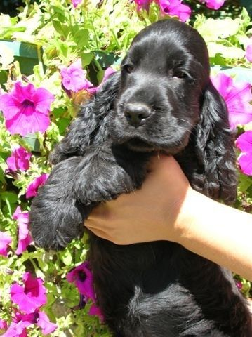 Most beautiful & lovely & adorable & charming dog breed ever: the English Cocker Spaniel    deadani