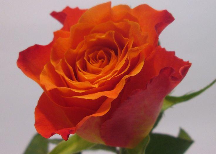 Купить дешевые оранжевые розы, по оптовым ценам