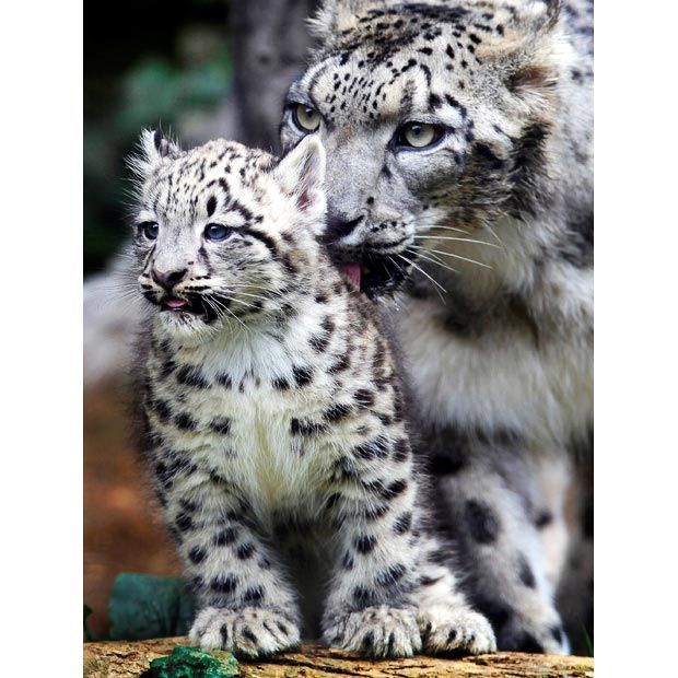 Snow leopards: so beautiful, so endangered :(