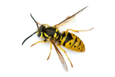 Wasp Nest Removal Aberdeen. How to get rid of a wasps nest. Pest Solutions, 1 Berry Street, Aberdeen, AB25 1HF, 01224 392 304.