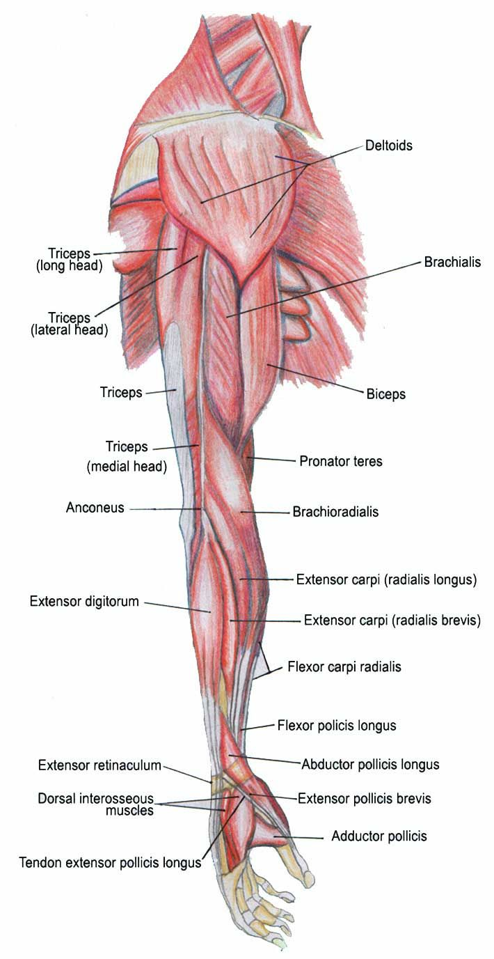 hight resolution of arm muscle and tendon diagram labeled