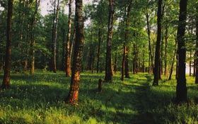 Обои березы, лес, тени, пейзаж, солнечный свет, зелень, утро