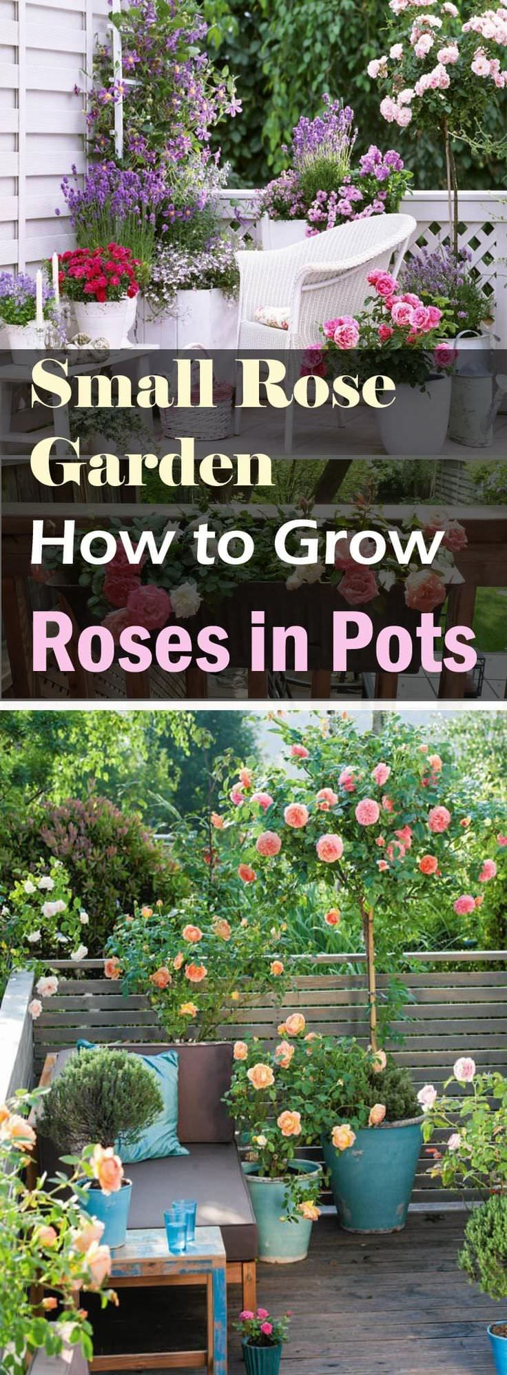 how to grow roses on balcony patio and terrace - Tiny Patio Garden Ideas