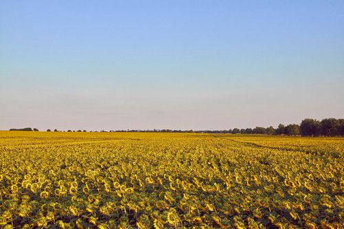 Sunflowers of Hungary, Photo: Aleksandar Mazzora