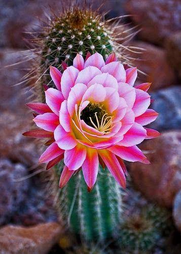 Cactus fleuri, voir rue du faubourg saint Martin Paris Plus