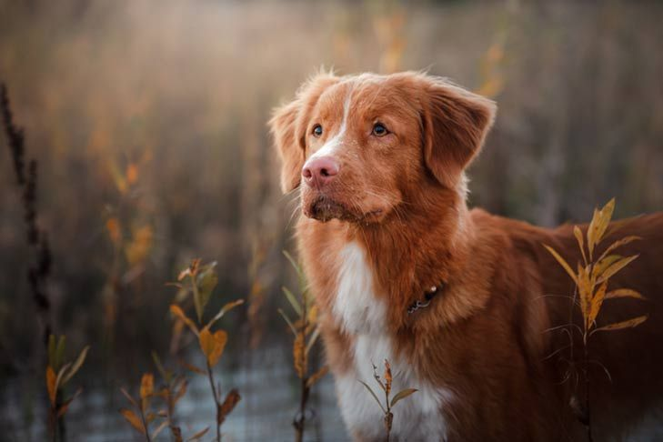 Nova Scotia Duck Tolling Retriever Dog Breed Information Dog Breeds Nova Scotia Duck Tolling Retriever Retriever Dog