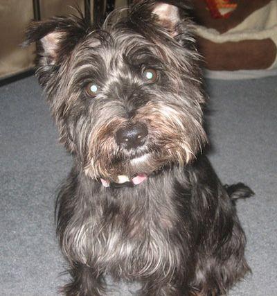 Jack Our Quot No One Wants This Dog Quot Wauzer Mini Schnauzer