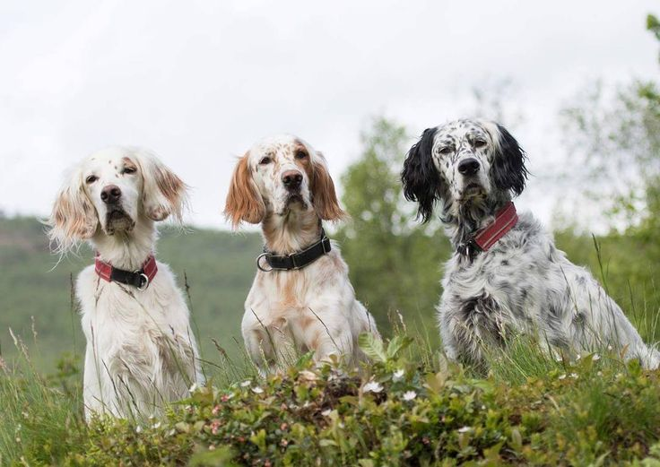 Our three English setters boys. Looking handsome ❤