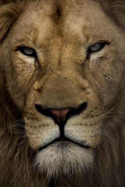 Lion by Cosch-Fotografie on Flickr.