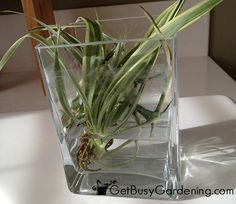 Baby Spider Plant Rooting In Water