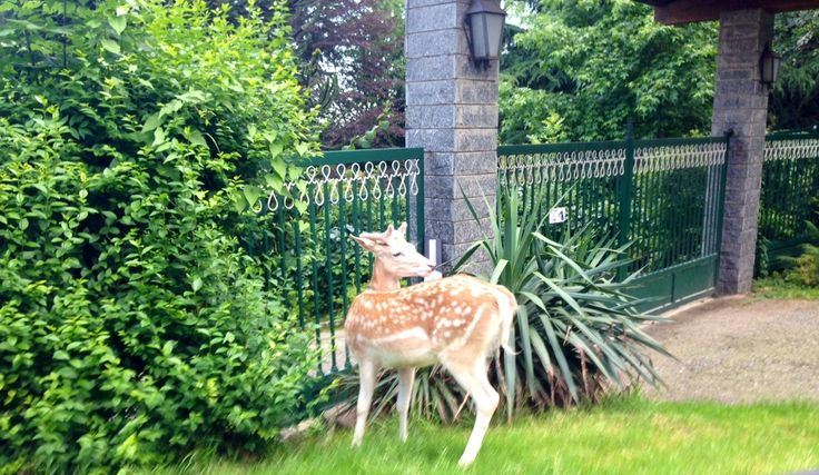 Bambi searching for food in my garden! fantastic moment...I love Bambi!