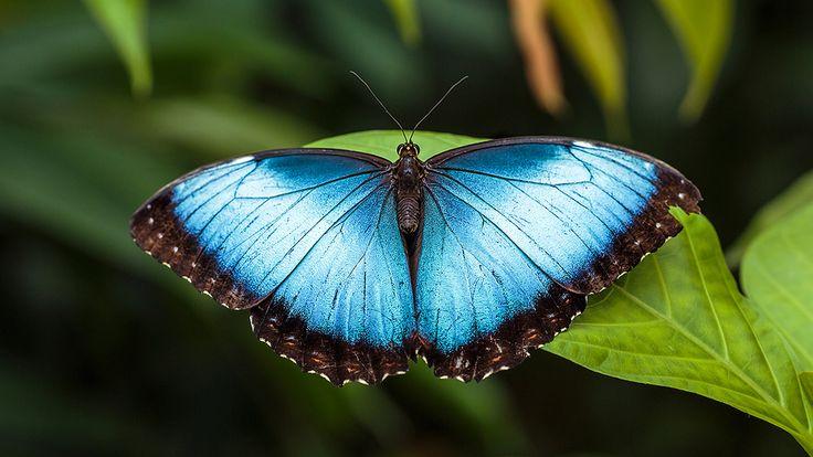 https://flic.kr/p/gEsUYQ   Mórpho peléides or Menelaus Blue Morpho butterfly 14080   Mórpho peléides - Menelaus Blue Morpho butterfly - blauwe Morpho vlinder