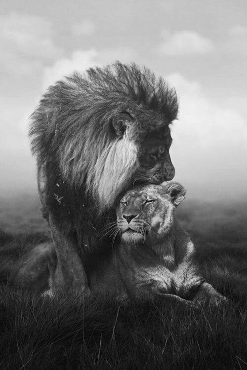 safari | wild cats | lion | lioness | love | tenderness | animal kingdom | beautiful | www.republicofyou.com.au