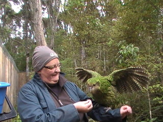Resultado de imagen para kakapo en reserva natural