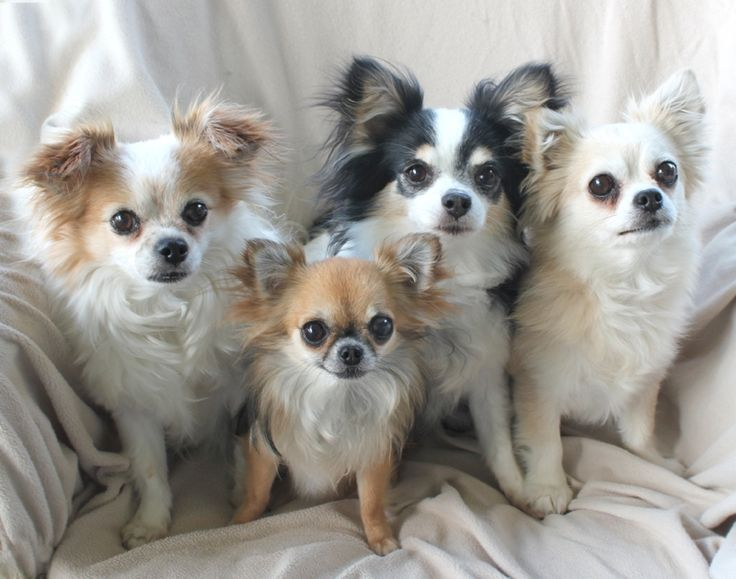 Long Haired Chihuahua Photograph | My 4 long hair chihuahuas