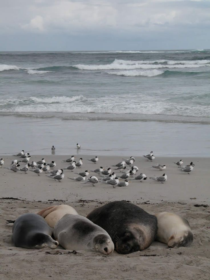 Seals and birds at Kangaroo Island, Australia