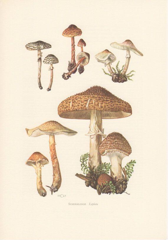 1963 Freckled Dapperling, Antique Print, Vintage Lithograph, Lepiota aspera, L. acutesquamosa, Pilz, Mushroom, Fungi
