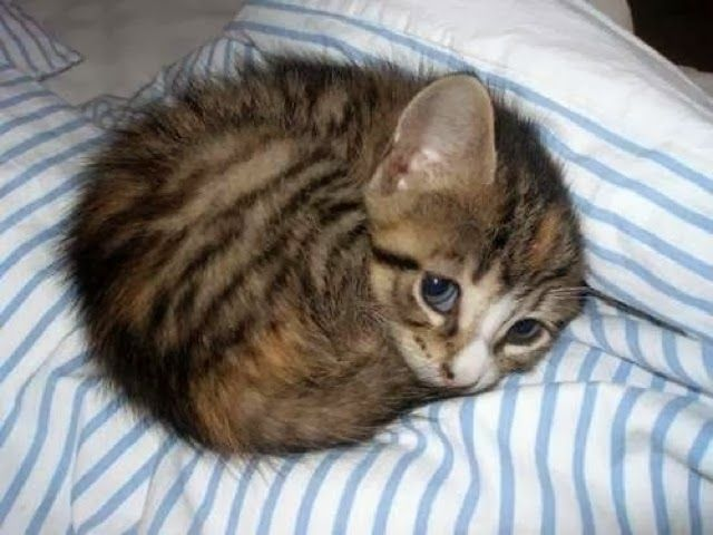 5 pet pics you must see, the cutest and the most innocent kitten in the whole world :)