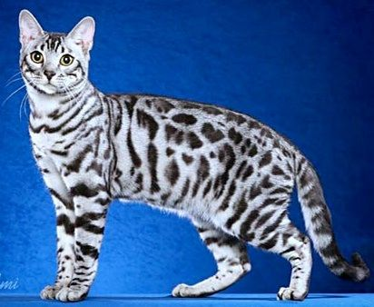 Savannah Cats For Sale In Asheville Nc