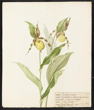 From the collection at Andersen Horticultural Library. Agnes Williams (1860-1946), a watercolorist from Bucks Co., PA, created a wildflower portfolio during the 1880s and 1890s. Emma painted Cypripedium pubescens (Lady's Slipper) in Lower Black's Eddy, PA. It is dated May 19, 1893.