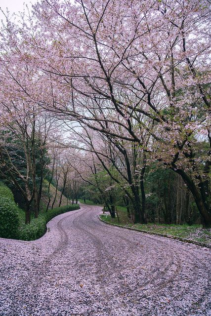 Pink carpet with cherry petals, Kagawa, Japan