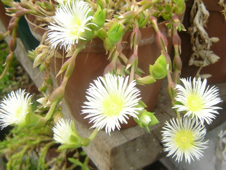 KANNABLISS – SCELETIUM EXPANSUM EXTRACT. Sceletium is native to the Western and Eastern Cape Provinces of South Africa and has over 500 years of documented use as an intoxicant, and medicinally, as an anti-depressant and anti-anxiety cure.