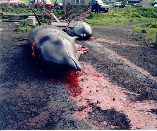 Condemn Japanese Prime Minister for Defending Dolphin Slaughter