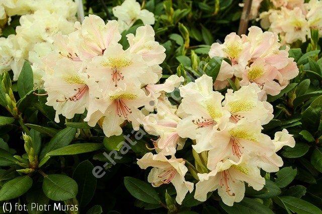 różanecznik 'Fryderyk' - Rhododendron 'Fryderyk' PBR