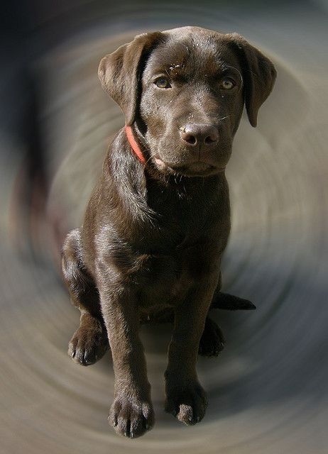 How Much Coffee Is In Ak Cup >> 122 best images about Chocolate Brown Labrador on Pinterest