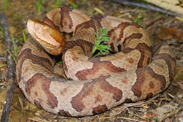 northern copperhead map - 736×490