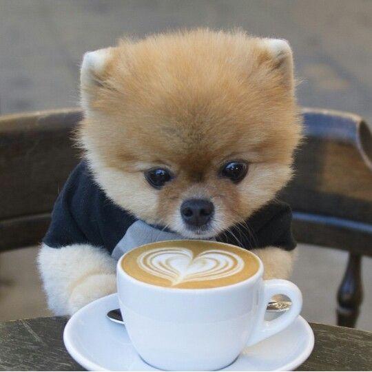 Omg Jiff Pom is the cutest pomeranian puppy ever :o