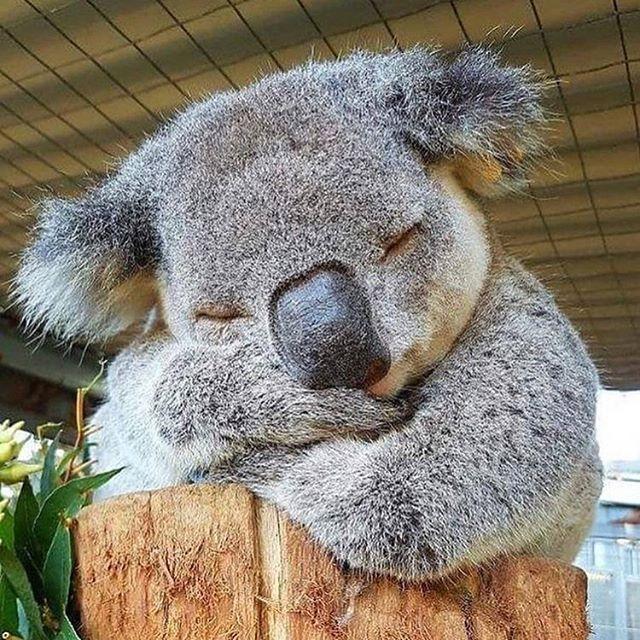 Ты как коала милая и дрыхнешь по 18 часов открытка