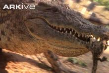 Nile crocodile video - Crocodylus niloticus - 09e | Arkive