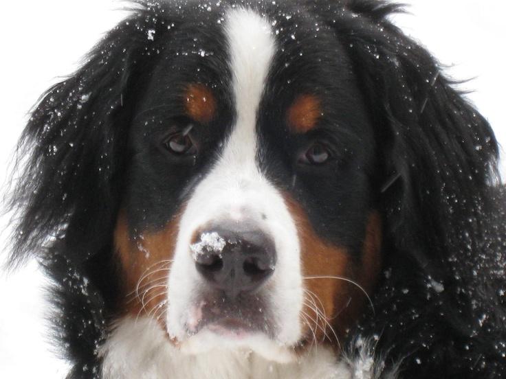My little Donner Bear enjoying the snow