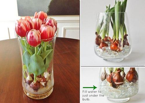 Come coltivare i bulbi in acqua. Esempio fatto con bulbi di tulipano (spiegazioni in italiano).