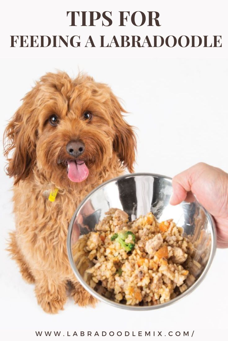 Everything you need to know about feeding your labradoodle