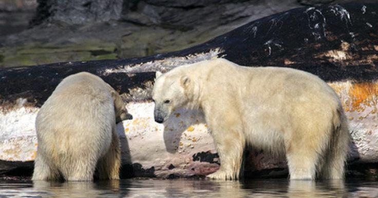 ¿Cómo se aparean los osos?. Hay muchas especies diferentes de osos, desde osos pardos a osos polares a los osos negros. Muchos se consideran en peligro de extinción hoy en día debido al desarrollo en su hábitat natural y a la caza ilegal. La mayoría de las osas hembras están listas para aparearse en el momento en que cumplen 3 años de edad y su compañero por lo general hasta ...