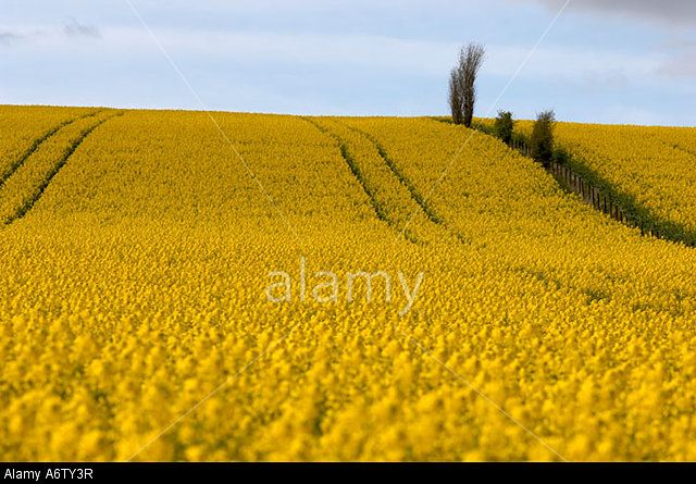 golden-field-of-oilseed-rape-flowers-fife-scotland-A6TY3R.jpg (640×445)