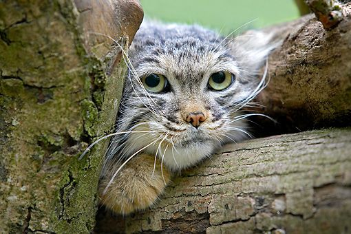 "Pallas Cat (Otocolobus manul) --- ""I hate Mondays.........going back to sleep now."""